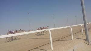 Camel Racing